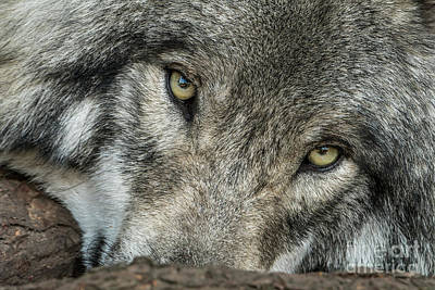 Photograph - Timber Wolf Picture - Tw289 by Wolves Only