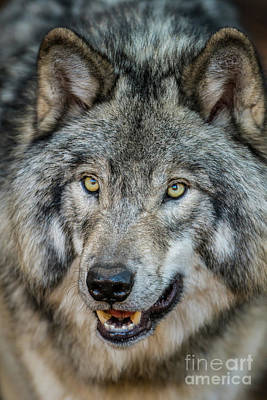 Photograph - Timber Wolf Picture - Tw290 by Wolves Only