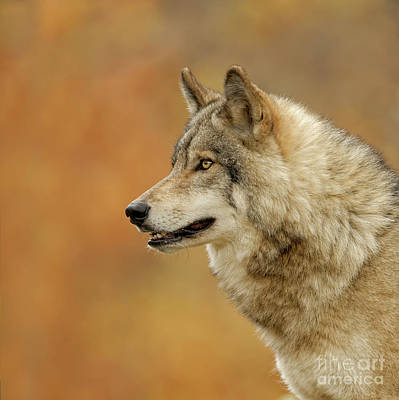 Photograph - Timber Wolf Picture - Tw293 by Wolves Only