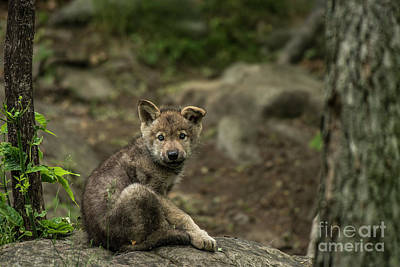 Photograph - Timber Wolf Picture - Tw335 by Wolves Only