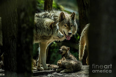 Photograph - Timber Wolf Picture - Tw340 by Wolves Only