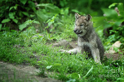 Photograph - Timber Wolf Picture - Tw341 by Wolves Only