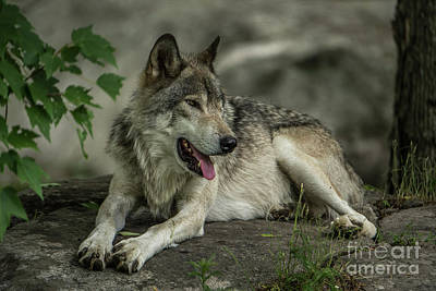 Timber Wolf Picture - Tw414 Original