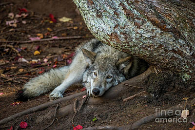 Timber Wolf Picture - Tw415 Original