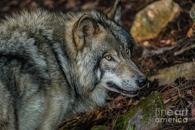 Timber Wolf Picture - Tw417 Original