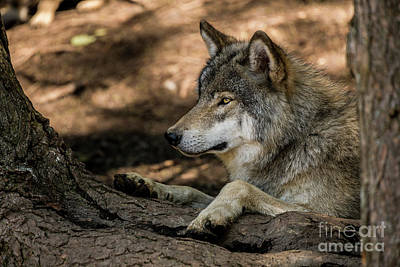 Photograph - Timber Wolf Picture - Tw418 by Wolves Only