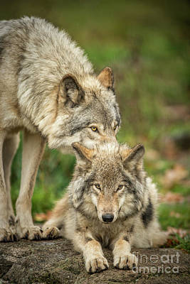 Timber Wolf Picture - Tw419 Original
