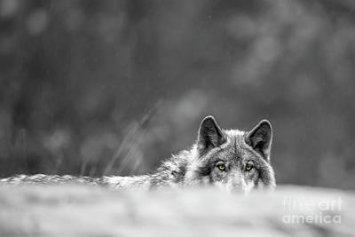 Timber Wolf Picture - Tw420 Original