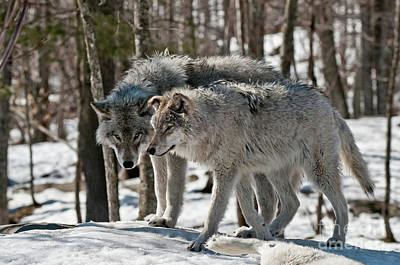 Timber Wolf Picture - Tw67 Original