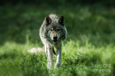 Timber Wolf Picture - Tw69 Original