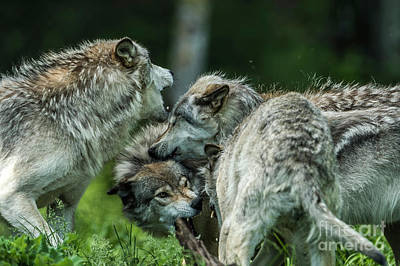 Photograph - Timber Wolf Picture - Tw70 by Wolves Only