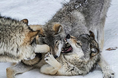 Photograph - Timber Wolf Picture - Tw71 by Wolves Only