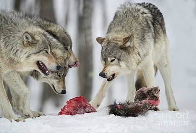 Photograph - Timber Wolf Picture - Tw72 by Wolves Only