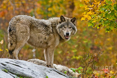 Timber Wolf Pictures 1727 Original