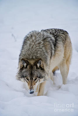 Timber Wolf Pictures 1751 Original