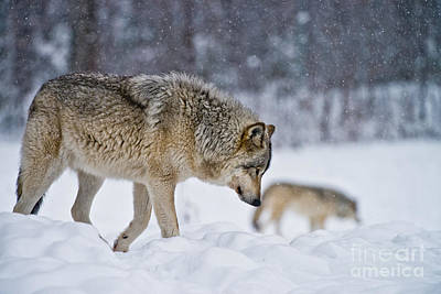 Timber Wolf Pictures 1779 Original