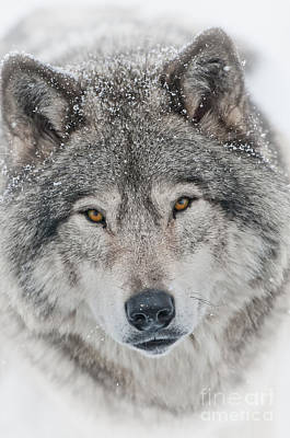 Timber Wolf Pictures 1791 Original