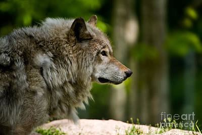 Timber Wolf Pictures 1806 Original