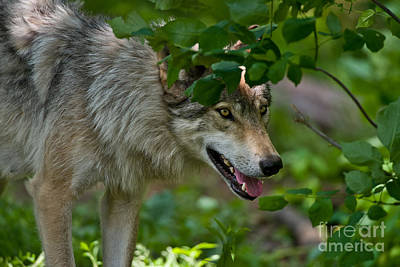 Timber Wolf Pictures 1827 Original