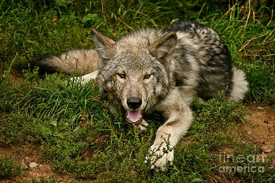 Timber Wolf Pictures 1860 Original