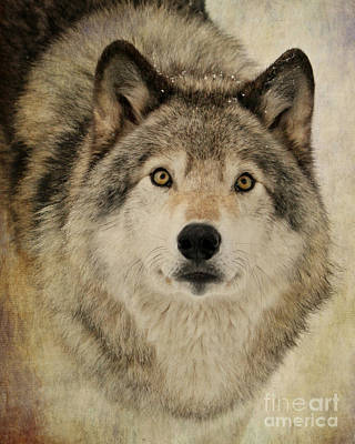 Photograph - Timber Wolf Portrait by Heather King