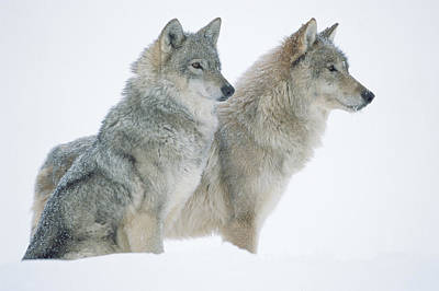Timber Wolf Photograph - Timber Wolf Portrait Of Pair Sitting by Tim Fitzharris