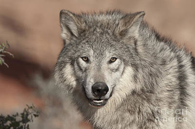 Timber Wolf Photograph - Timber Wolf Portrait by Sandra Bronstein