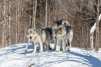 Photograph - Timber Wolves In Winter by Josef Pittner