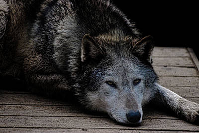 Wolves Photograph - Timber Wolves by Martin Newman