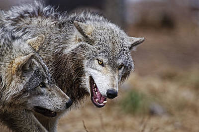 Art Print featuring the photograph Timber Wolves by Michael Cummings