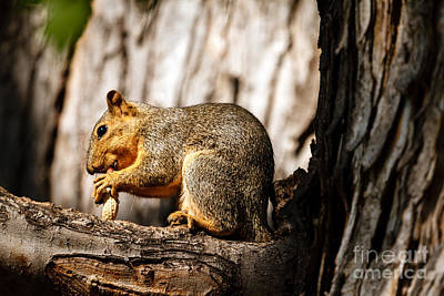 Eastern Fox Squirrel Photograph - Time For A Peanut by Robert Bales