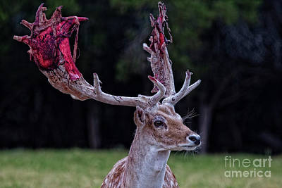 Photograph - Time For New Antlers by Douglas Barnard