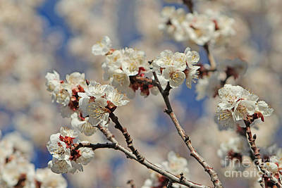 Lucille Ball Royalty Free Images - Timid Love Apricot Blossoms Royalty-Free Image by Dale Jackson