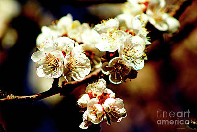 Photograph - Timid Love Apricot Blossoms II by Dale EJackson