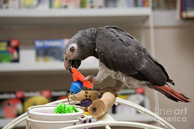 Photograph - Timneh African Grey Parrot by Jill Lang