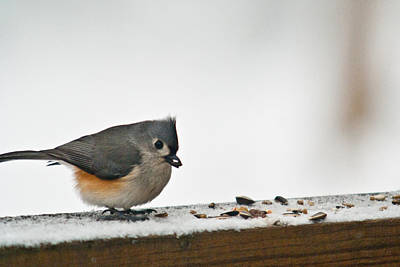 Tufted Titmouse Photograph - Timouse Eating Seads by Douglas Barnett