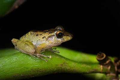 Frog Photograph - Tink Frog Diasporus Diastema by Panoramic Images