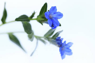 Photograph - Tiny And Blue II by Mary Haber