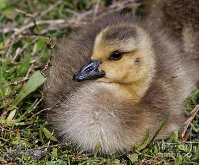 Photograph - Tiny Baby Canada Goose by Sue Harper
