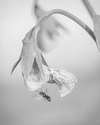 Photograph - Tiny Bee Around Tiny Pea by Len Romanick