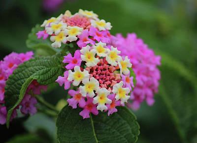 Photograph - Tiny Bouquets by Rowana Ray