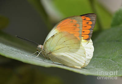 Photograph - Tiny Butterfly by Cindy Manero