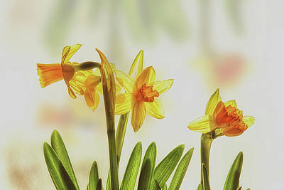 Floral Watercolor Photograph - Tiny Daffodils by Susan Capuano
