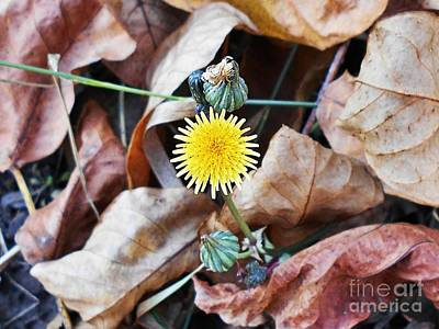 Photograph - Tiny Dandelion by Erika H