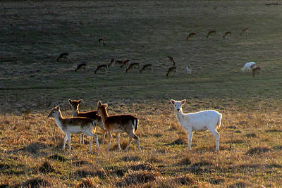 Photograph - Tiny Deer by Spyder Webb