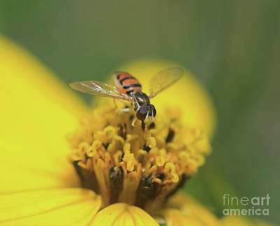 Photograph - Tiny Flower Fly I by Mary Haber