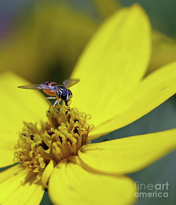 Photograph - Tiny Flower Fly II by Mary Haber