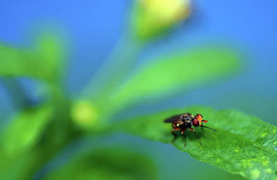 Photograph - Tiny Fly On Leaf by Larah McElroy