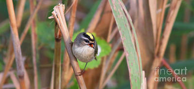 Photograph - Tiny Golden-crowned Kinglet by Debbie Parker