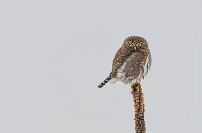 Pygmy Owl Wall Art - Photograph - Tiny  by Joy McAdams